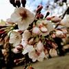 桜が美しい堀留町児童公園