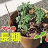 【成長期】ちょっとだけ大きくなった【ミニトマト観察ブログ2】