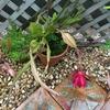 タフな月下美人が次々と花を咲かせています!ミニ鉢にどんな花が咲くのか・・・