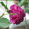 久しぶりの新苗〜品種不明の紫色のバラ