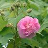 八重咲きの芙蓉の花