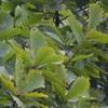これまでのフィールドからのブナ科植物