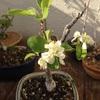 ヒメリンゴが開花、富士桜は満開