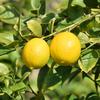柑橘類の季節です