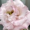 ピンク色の花が咲いたよ!