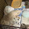 初めて猫を飼う!(ブリーダー・迎えるまでの準備)