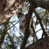 ハイタカ・オオタカ・ミヤマホオジロ(大阪城野鳥探鳥 2017/02/11 6:30-13:15)