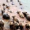 中国の田舎で毎日みんなで集まって河を渡る水牛たち