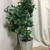 私パンダ飼ってます。 ~うちの観葉植物紹介します②~