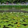 平安神宮の白虎池と蒼龍池の睡蓮。