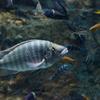 ロボキロテス・ラビアータス Lobochilotes labiatus