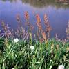 スイバ(酸模)の花言葉と特徴