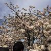 造幣局の桜の通り抜け 行ってきました!