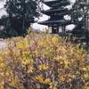 法起寺のレンギョウ(3月下旬~4月上旬)