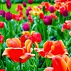 満開時期はいつ?オランダのキューケンホフ公園【アムステルダム観光おすすめ・チューリップ開花時期】