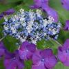 雨の日の紫陽花