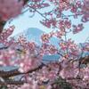 河津桜×富士山2021 〜その①〜
