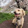 午前中は天気良かった、元荒川の桜は見ごろ