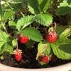 #22 四季なりイチゴ 実を付けるけど