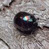 テントウムシのような「虹色」の小さな昆虫の正体