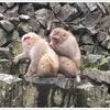 渋温泉2日目 「お猿さん、早朝出勤ありがとうー♪」