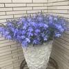 アズーロコンパクト(サントリー)の成長記録~植え付けから開花,梅雨の切り戻しまで