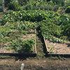 菜園日誌2018/0701 暑い夏にも耐えて夏野菜が育っています