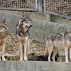 シンリンオオカミ Canis lupus lycaon