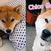 【柴犬】そらくんのママとそらくんの誕生