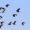印旛沼周辺を飛ぶタゲリの集団