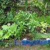【家庭菜園】ミニゴボウを収穫してみました