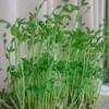 野菜高騰が多く再収穫可能な豆苗さんを買う・・・が、二回目の成長が早く驚いた