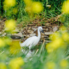 2021年、春の野川で桜と菜の花とカワセミと……