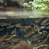 ウグイTribolodon hakonensis