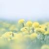 【今日の一枚】海岸に咲くたんぽぽと北の怪植物エゾニュウの目覚め