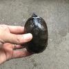 トウブドロガメ(ミシシッピドロガメ) 2
