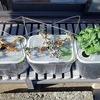水耕栽培アイスプラントの冬越し方法を考察。なぜか不織布+エアレーションで耐寒性が上がりました