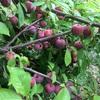 スモモを収穫に。