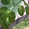 トマトの葉がモザイク病・・・ところどころ黄色くなる。対策は?