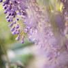 藤の花 あしかがフラワーパーク ②