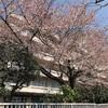 桜吹雪の中、運転免許の更新に行ってきました〜府中運転免許試験場の周りは桜がいっぱい〜