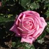 万博公園のバラと我が家のバラ