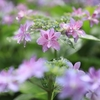 西国十番札所「三室戸寺」紫陽花(スナップ)