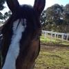 オーストラリア ワーホリ生活 シドニー近郊の馬のファームで働く