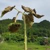 向日葵の種取