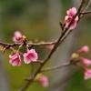桜が使われている漢方〜十味排毒湯〜