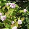 山紫陽花(ヤマアジサイ)で和の風景を楽しむ