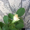 ミセスアイリスクロウの開花前