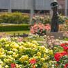 【文京区】本郷給水所公苑のバラが見頃です