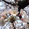 熊野神社の桜は六分咲き&ワラビたっぷり&シャガの開花&100年俳句計画4月号のご案内♪